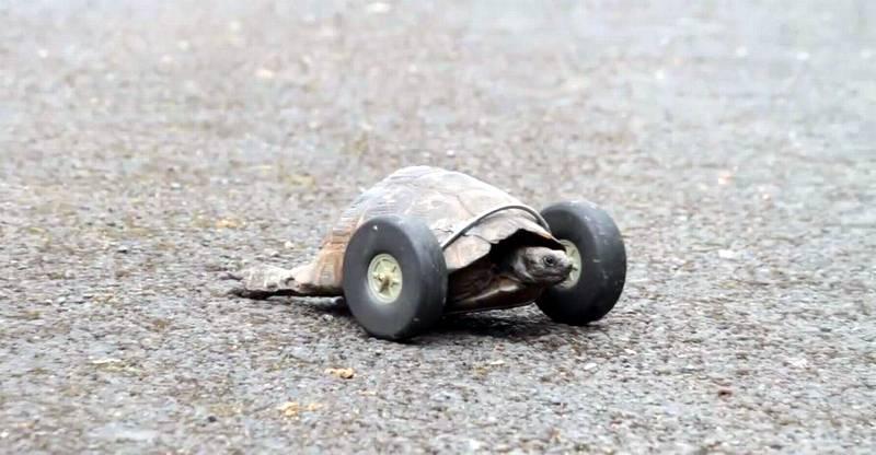 curiosidades-tortuga-llanta