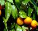 Hojas de naranjo: múltiples ventajas para nuestra salud