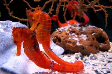 Sabías que los caballitos de mar eligen una pareja para siempre?