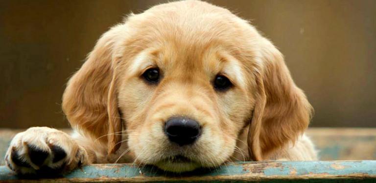 Mascotas-Golden-portada
