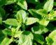¿Sabías que podés cultivar menta en tu casa?