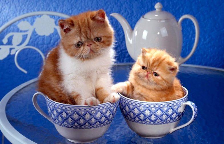 4 razas de gatos para vivir en departamentos
