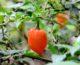 5 tips para una buena cosecha de ají picante hogareño