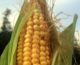 Huerta en casa: cómo cosechar tu propio maíz
