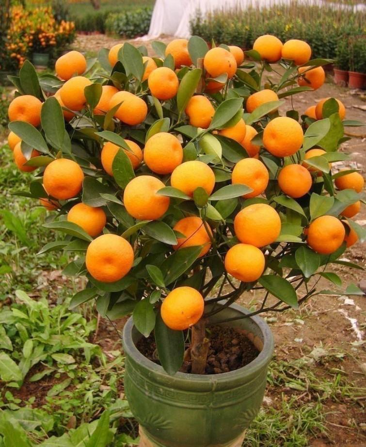 huerta-mandarinas3